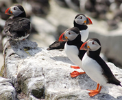 four puffins